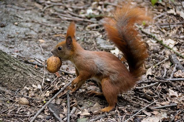 Το καρύδι και τα θρεπτικά συστατικά του σκίουρος