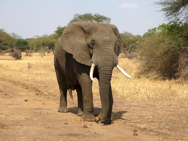 Είδη ζώων υπό την απειλή της εξαφάνισης ελέφαντας