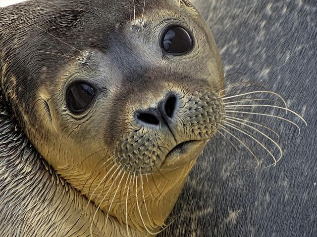 Είδη ζώων υπό την απειλή της εξαφάνισης φώκια μονάχους