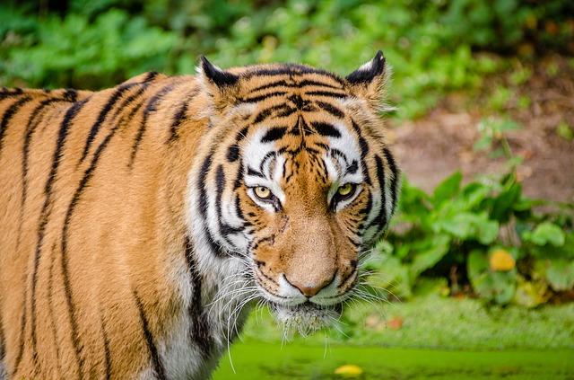 Είδη ζώων υπό την απειλή της εξαφάνισης τίγρης